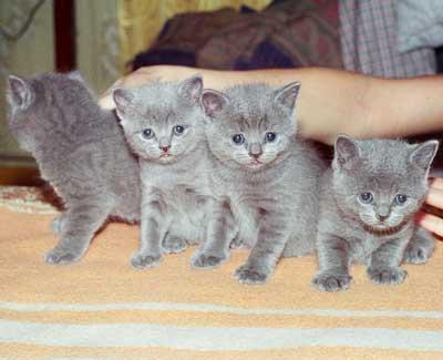 Британские котята 2 месяца фото