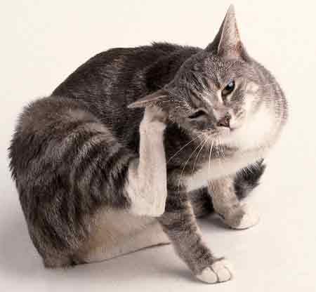 Прыщик за ухом у кота