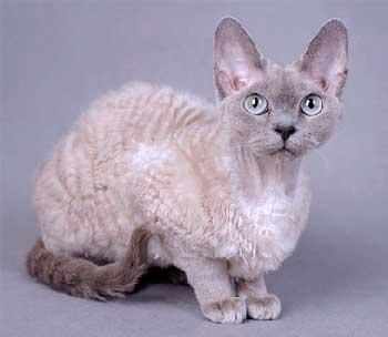 Кошка породы Девон Рекс