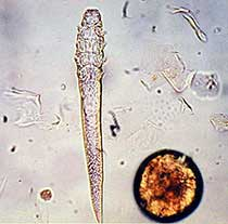 Клещ Demodex cati