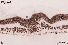 Эмбрион кошки на 13-й день