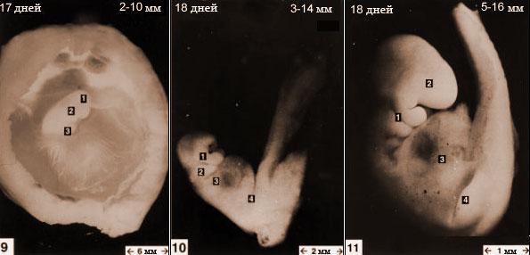 Эмбрион кошки с 17 по 18-й день