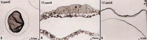 Эмбрион кошки с 8 до 12 дней