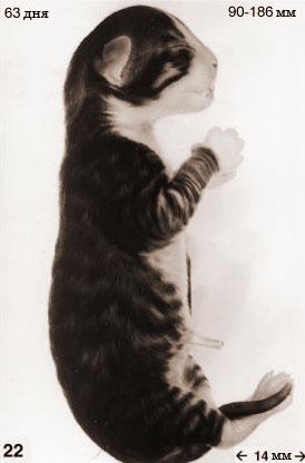 Эмбрион кошки в 63 дня