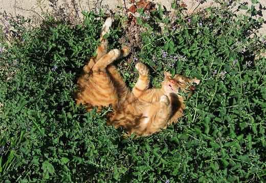 Кошачья мята действие на кошек