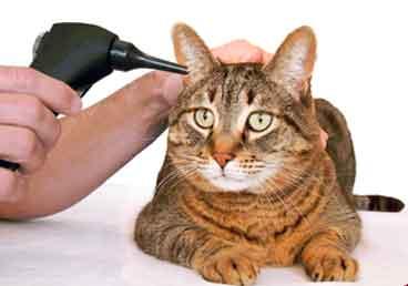 лечение ушей кошек | МосВетПомощь