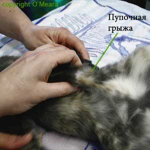 паховая грыжа у русских голубых котят отзывы зачем? знаю