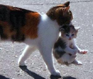 Кот берет котят за шкирку