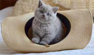 Какие уши у вислоухих котов