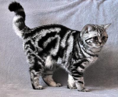 окрас табби фото, табби окрас кошки