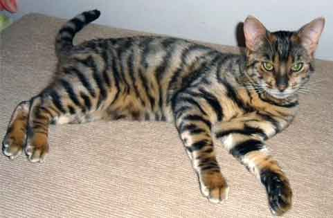 фото кошка табби