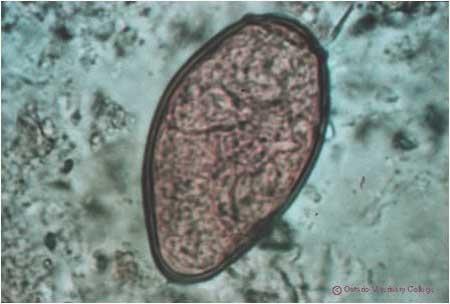 огулов очистка от паразитов чесноком