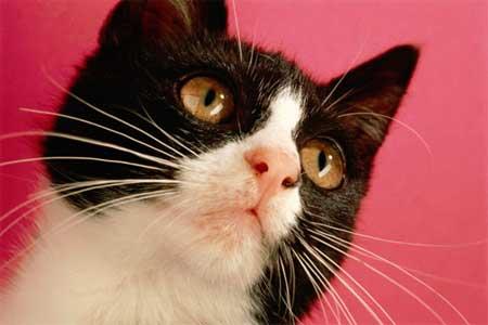 Почему у кота чернеет ус