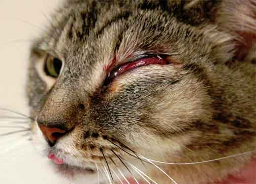 Болит глаз у кота чем лечить в домашних условиях