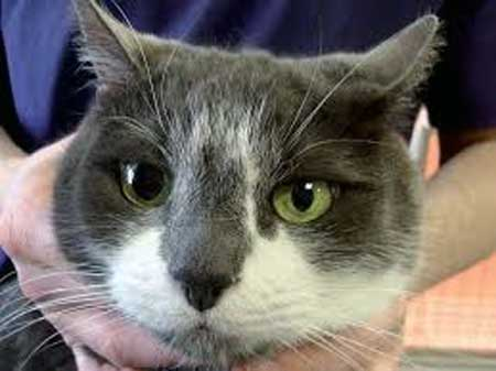 Анизоскория (зрачки разного размера) у кошек