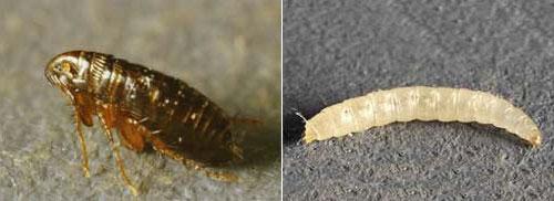 Paraziti kocek. Animale parazite exemple