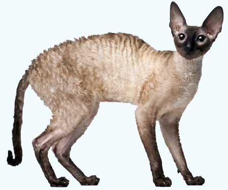 породы кошек корниш рекс