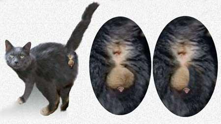 Размер пениса кота