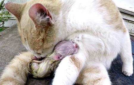 Этапы родов у кошек