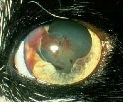 Кровоизлияние в переднюю камеру глаза кошки, вызванное гипертензией