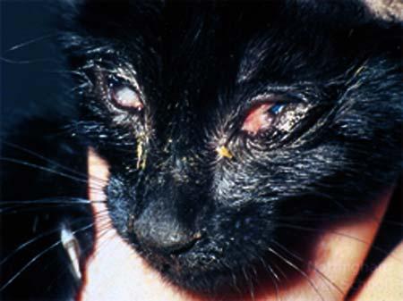 Кошачий грипп