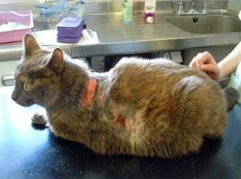 Синдром Кушинга у кошек