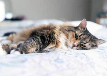 Лимфопения у кошек