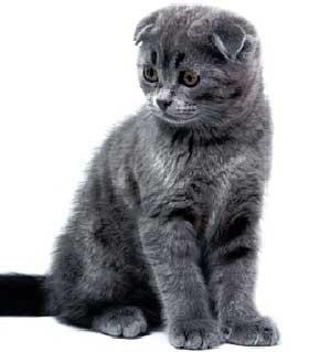 Голубой шотландский вислоухий котёнок