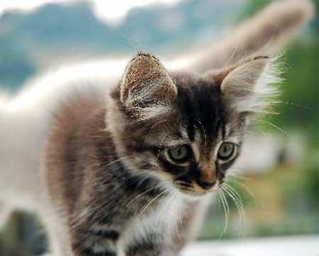 Возраст стерилизации кошек