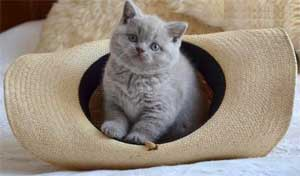 Шотландский котёнок страйт (с прямыми ушами)