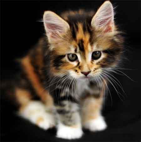 Трёхцветные кошки