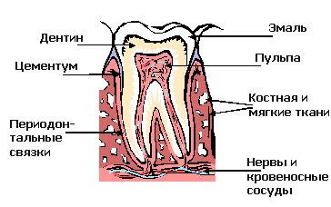 Строение зубов у кошки